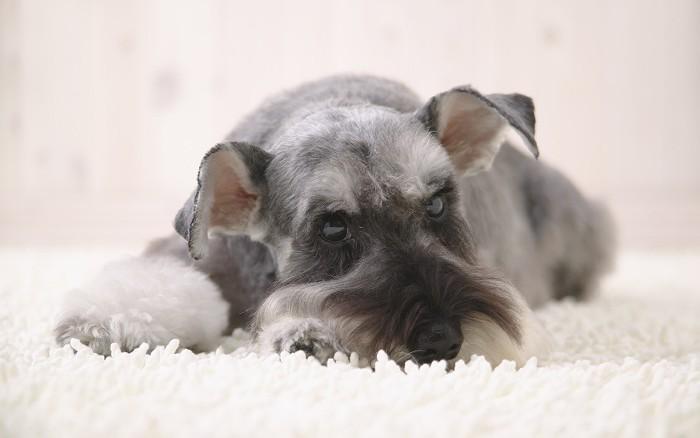 ペット子犬