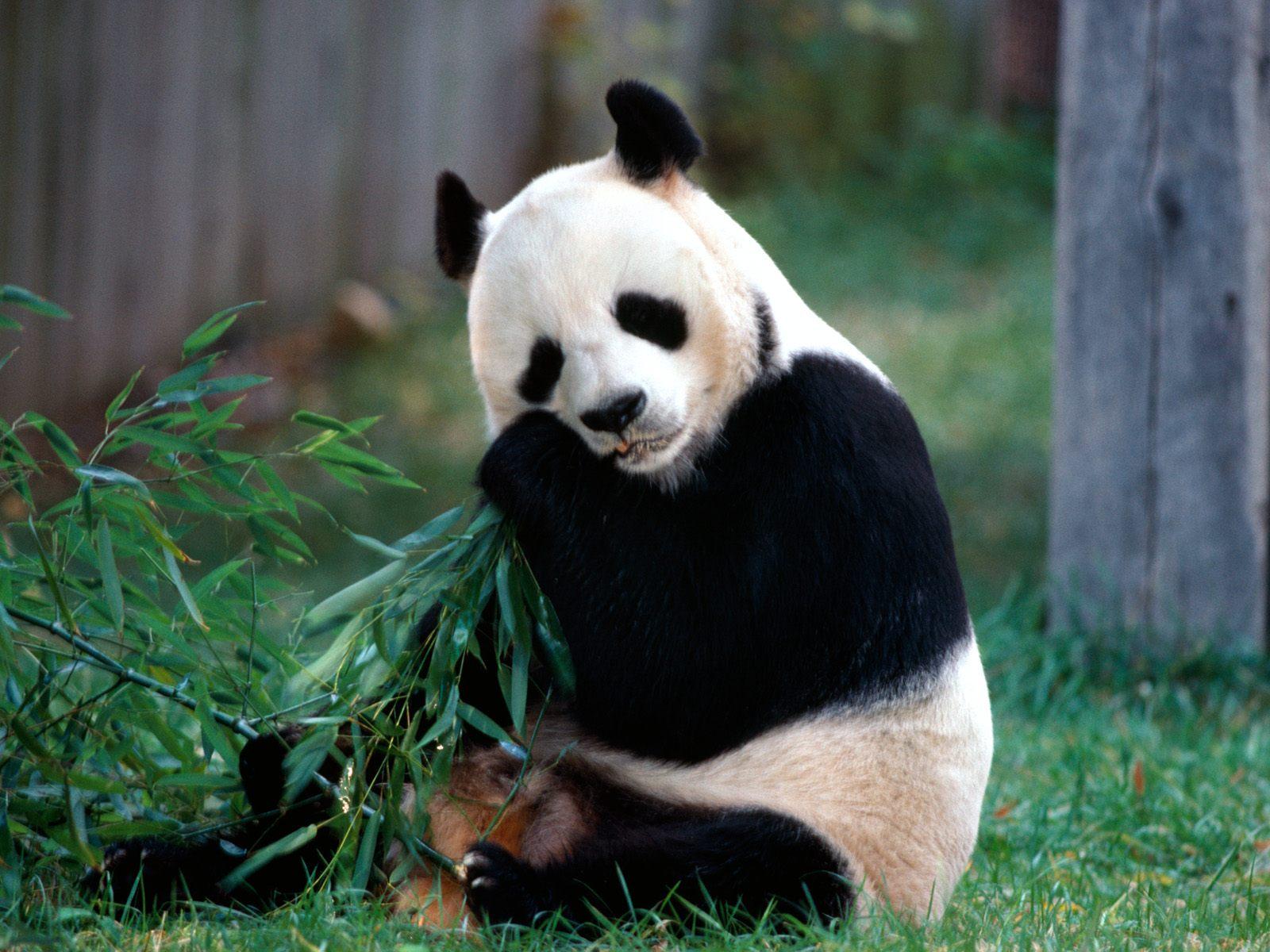 http://www1.jpkabegami.com/images3/wall/20060828/panda004.jpg
