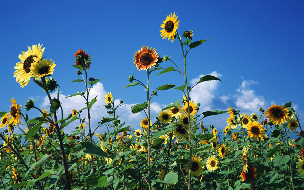 仰望天堂的向日葵