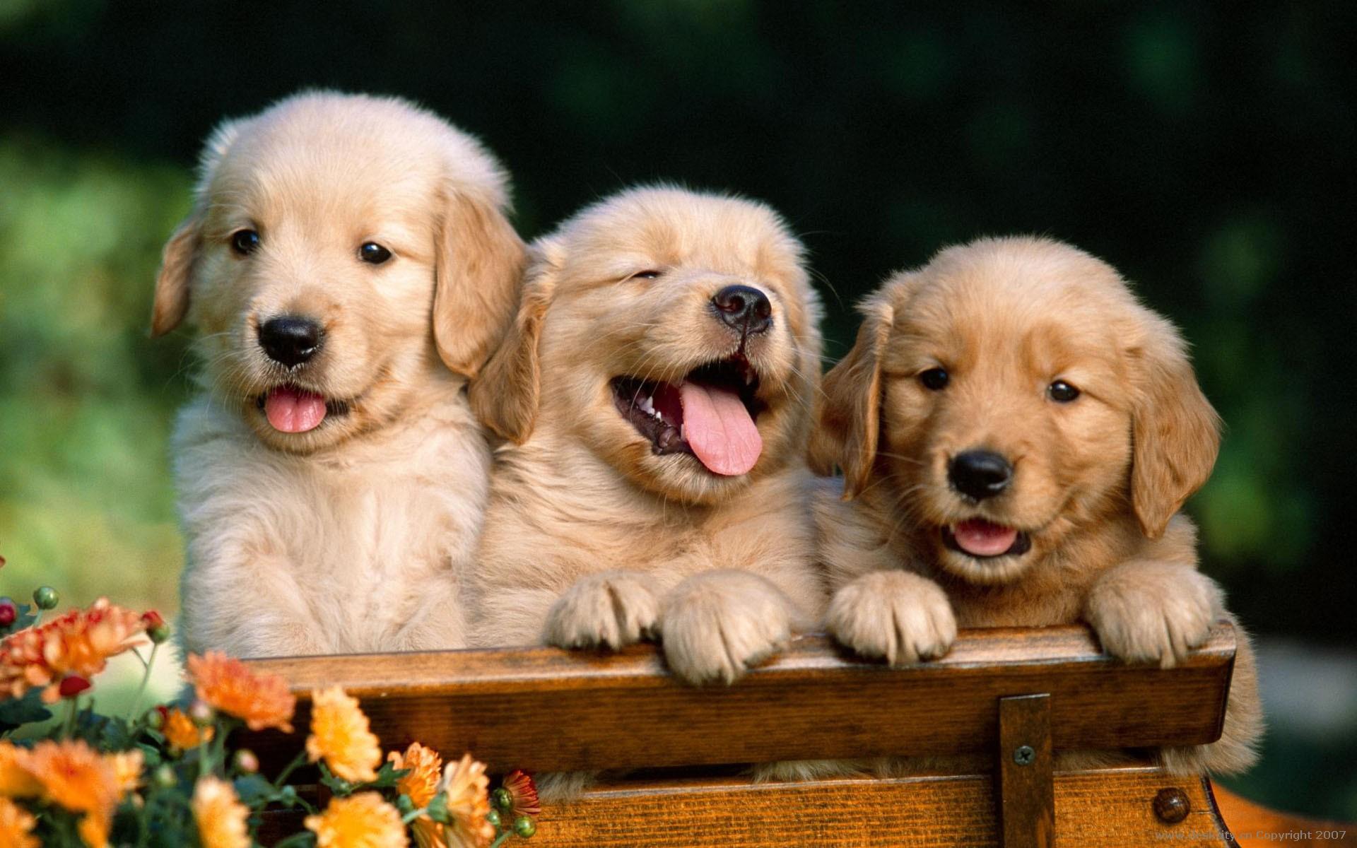 かわいい三びきの犬の動物壁紙