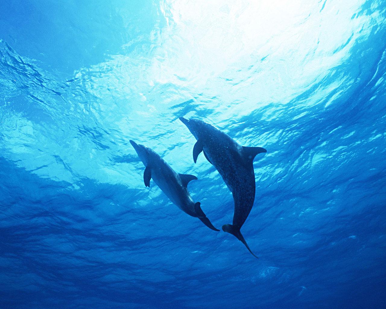 動物壁紙 無料ダウンロード 海の精霊 イルカ